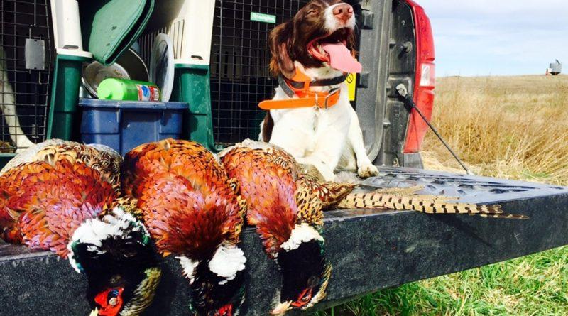 Brittany Spaniel Pheasant Hunting