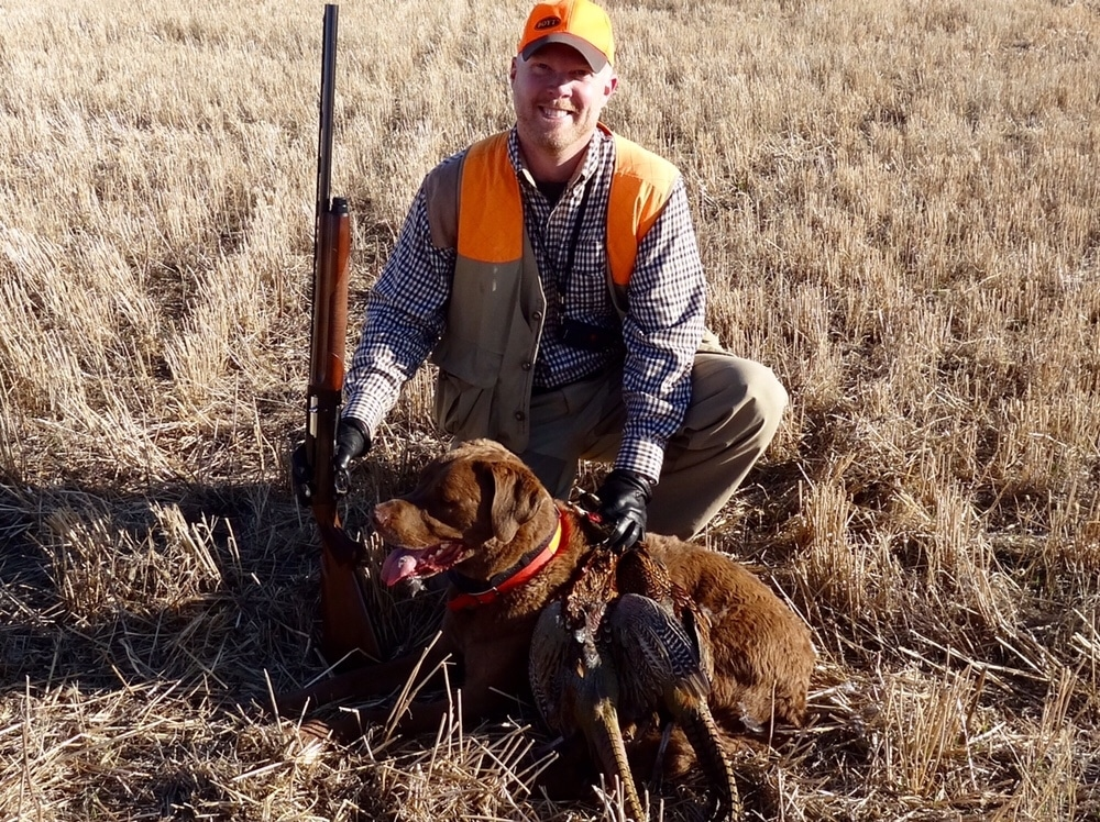Chesapeake Bay Retriever on a pheasant hunt in Winner South Dakota